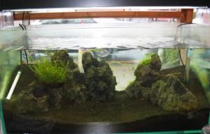レッドビーシュリンプ繁殖水槽