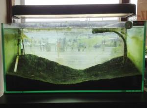 繁殖三ヶ月目の水槽